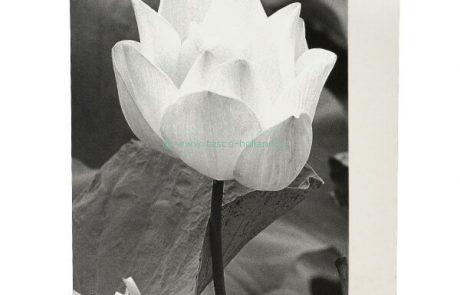 Kaart/envelop Lotus 2 13x18 cm